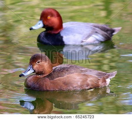 Redhead Duck