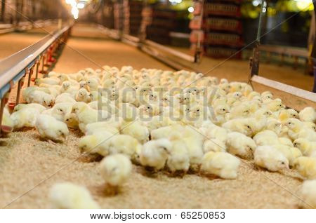 Large Group Of Newly Hatched Chicks On A Chicken Farm.