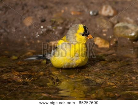 Bathing American Goldfinch