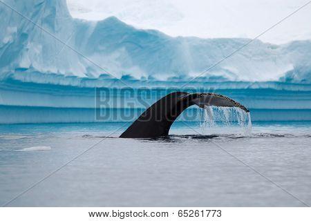 Humpback Whale Fluke in Antarctic Waters