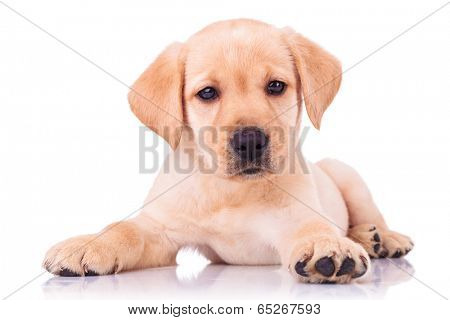adorable seated labrador retriever puppy dog on white background