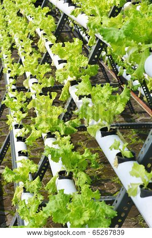 Healthy Hydroponic Lettuce
