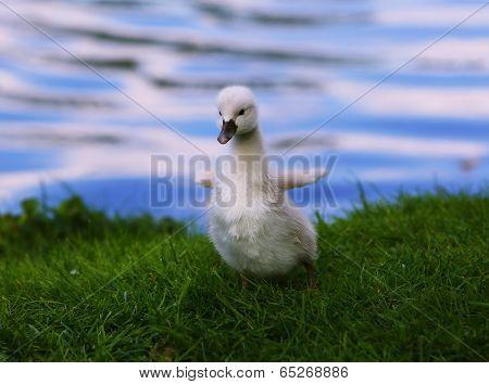 White Swan Cygnet On The Grass