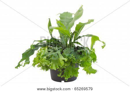 Asplenium nidus fern