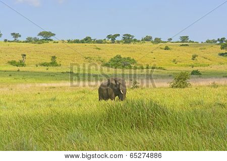 African Elephant in the Savannah in Uganda daytime nature poster