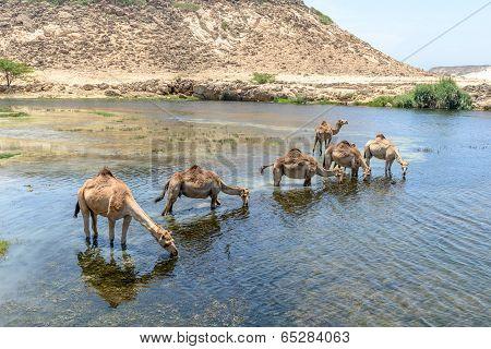 Dromedaries At Wadi Darbat, Taqah (oman)