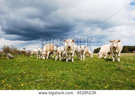 Cattle With Calves At A Green Field