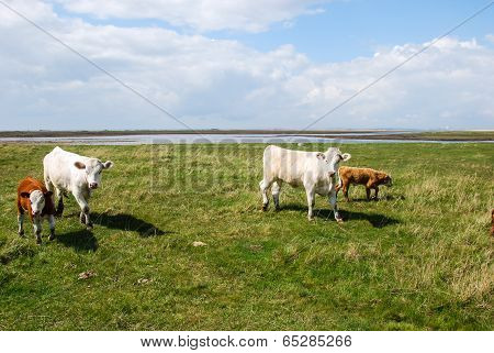 Cattle At Spring