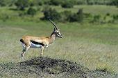 Grant's gazelle in their natural habitat . Kenya . poster