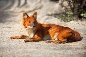 Red Fox lying on sand, predator in wild poster
