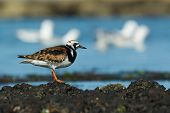 A Ruddy Turnstone (Arenaria interpres) standing on floating seaweed poster