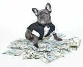 French bulldog puppy wearing a tux and bow tie sitting on a pile on one hundred bills. poster