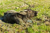 Yang buffalo in the mud at rural Thailand. poster