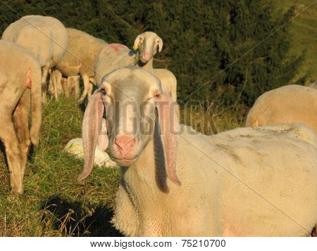Snout Of Sheep In The Middle Of The Herd Grazing In The Mountains