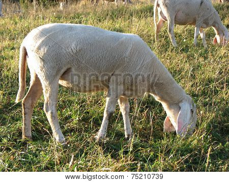 Sheep Grazing The Grass In The Meadow In The Mountains