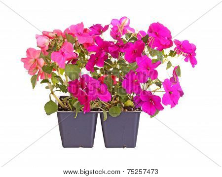 Pack containing two seedlings of impatiens plants (Impatiens wallerana) flowering in purple and pink ready for transplanting into a home garden isolated against a white background poster