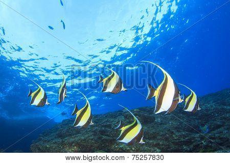 Moorish Idol fish on coral reef underwater
