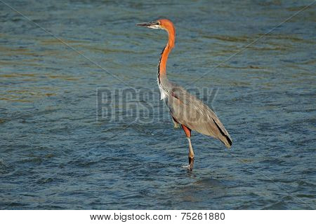 A goliath heron (Ardea goliath) standing in shallow water, South Africa