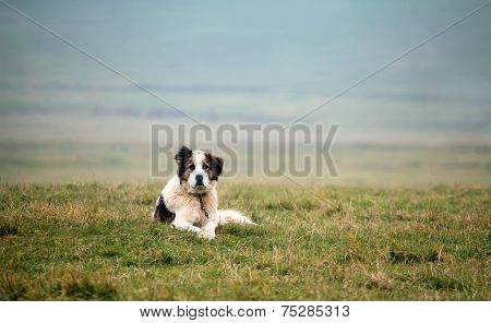 White Sheep Dog