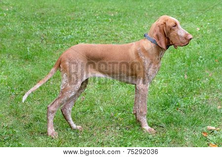 Italian Poiting Dog In The Garden