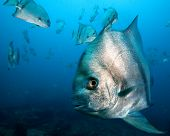 Schooling Spade Fish poster