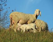 mother sheep breastfeeding her little lamb in the midst of the flock poster
