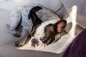 Adorable French bulldog lying on sunny couch poster
