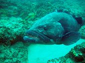 Large Grouper (Potato Bass) in the warm Indian Ocean, off the southern coast of Mozambique poster