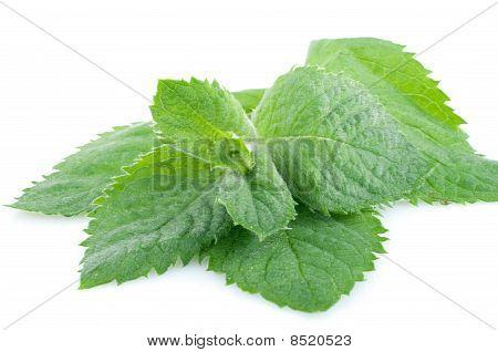 Fresh Green Spearmint