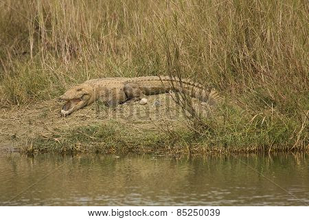 mugger crocodile open mouth, Bardia, Nepal