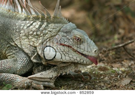Iguana showing a tounge