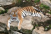 Tiger laying down. Relaxing. poster