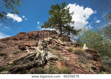 Old Stump And Larch On A Mountain Slope