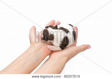 Little White Shih Tzu Puppy Sleeping At The Human Hands