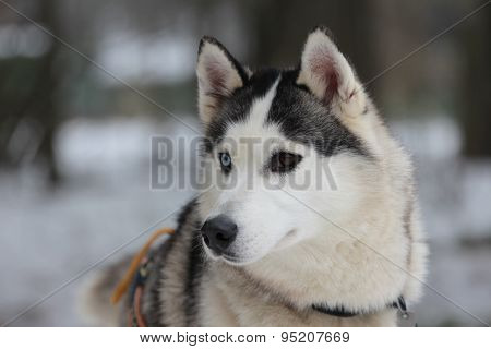 A different colour eyes Siberian husky in harness.