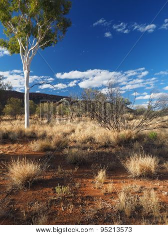 Late afternoon Gum Tree in the outback