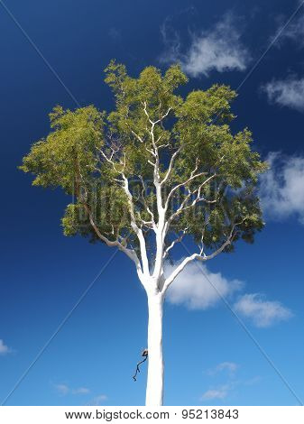 Late afternoon white Gum Tree on deep blue sky near Simpsons Gap in the McDonnell Ranges, Alice Springs, Australia, June 2015 poster