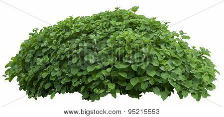 Beautiful Green Fresh Ornamental Tree Isolated On White Background