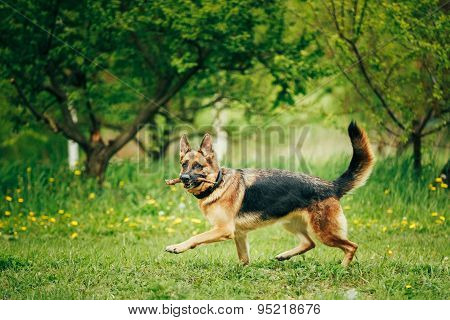 German Shepherd Stick Chewing Outdoor