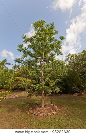 Ambarella tree (Spondias cytherea Spondias dulcis June plum Kedondong) in Queen Elizabeth II Botanic Park of Grand Cayman Cayman Islands (British Overseas Territory) poster