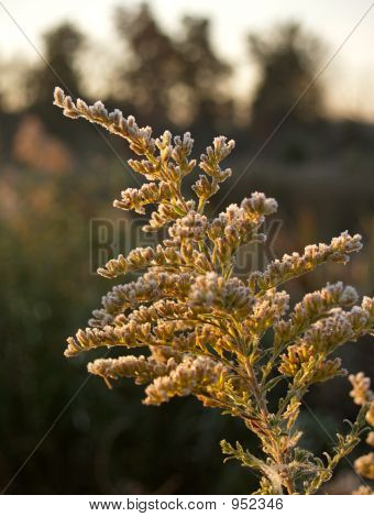 Frost On Goldenrod Flower