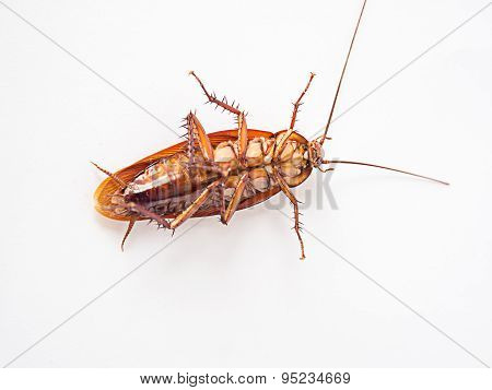 Cockroach Supine On A White Background.