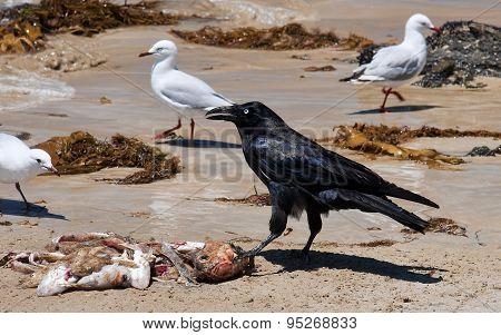 Australian Raven With Gains