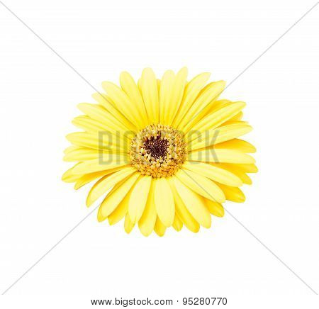 Yellow African Daisy Isolated