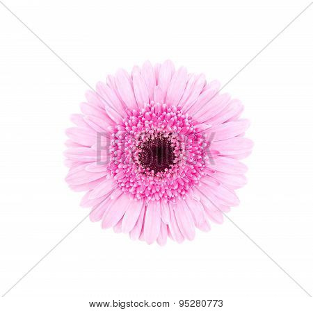 Pink African Daisy Isolated