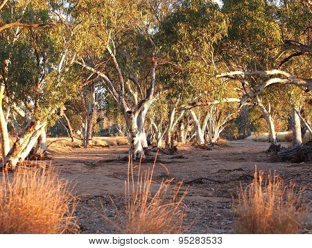 Gum trees in the dry Roe creek river bed in the late afternoon near Simpsons Gap