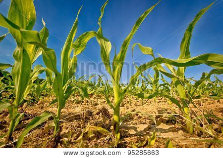 Young Corn Field Crop View