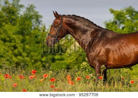 Bay horse in poppy