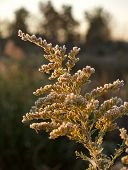 frost settles on a goldenrod plant one october morning by a marsh in eastern pennsylvania usa ( solidago virgaurea ) poster