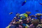 Assorted saltwater fish including a Blue-Faced Angelfish and a Blue Hippo Tang, swim amongst the coral. poster